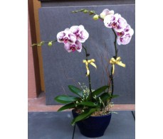 O9 2 STEMS WHITE ORCHIDS