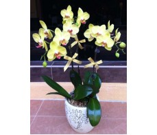 O13 3 STEMS YELLOW ORCHIDS IN POT